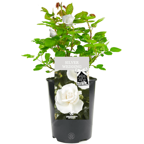 an image of a silver wedding rose 25th wedding anniversary gift